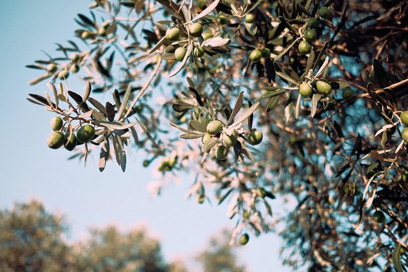 Olive tree uliveti puglia trulli