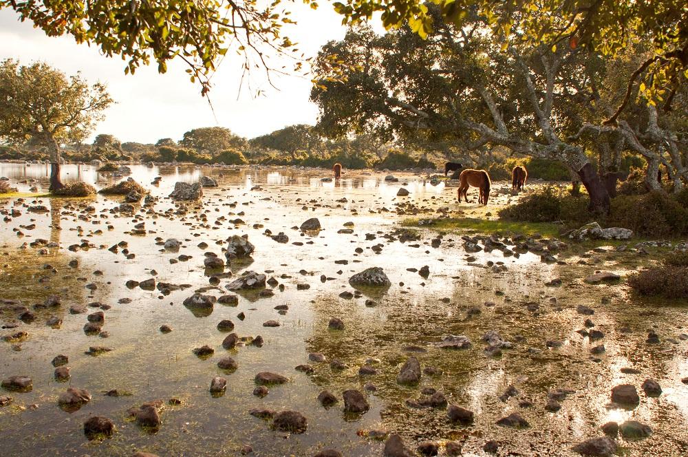Foto dei cavallini della Giara di Gesturi, nella guida su cosa vedere in Sardegna